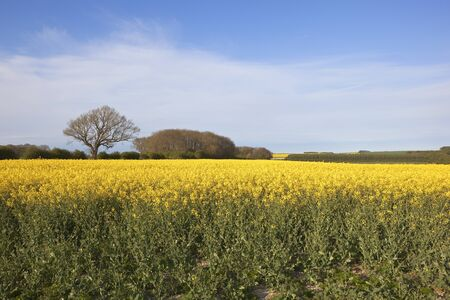 oilseed: a yellow flowering oilseed rape crop with hedgerows and woodland in the yorkshire wolds england