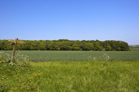 copse: a woodland copse beside blue green wheat crop with a wooden footpath sign under a clear blue sky in summer
