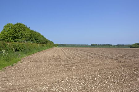 chalky: a chalky potato field with lines and furrows beside hedgerows under a blue sky in the yorkshire wolds Stock Photo