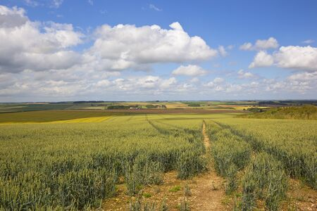 oat field: a ripening oat field with views of the yorkshire wolds under a blue cloudy sky in summer