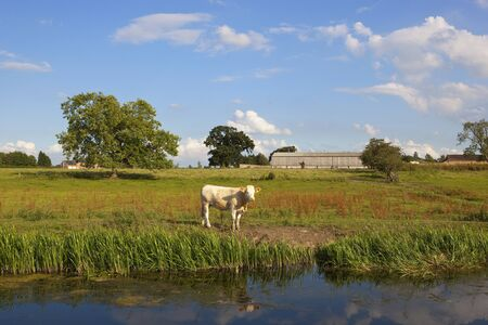 hedgerows: a young brown cow standing beside a canal in a grazing pasture with trees and hedgerows under a blue sky in summer