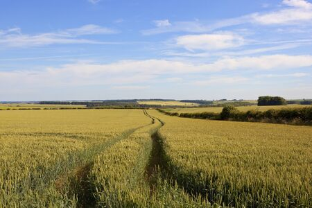 hedgerows: a ripening wheat field with tyre tracks in the yorkshire wolds with hedgerows under a blue cloudy sky