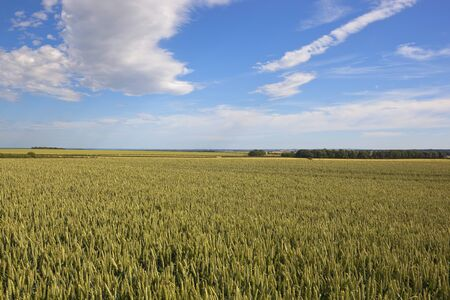 a ripening wheat field fields in the yorkshire wolds with hedgerows under a blue cloudy dramatic sky