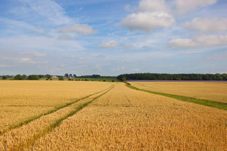 woodlands: a golden wheat field in summer with hedgerows and woodlands under a blue sky in yorkshire Stock Photo