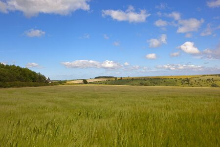 woodlands: a ripening barley fiels in the yorkshire wolds with woodlands under a blue cloudy sky Stock Photo