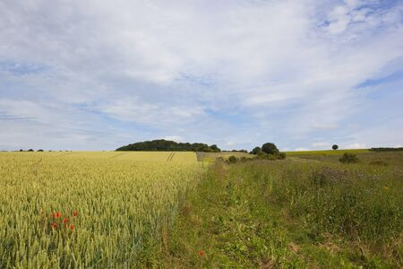 ripening wheat crop with poppy flowers and game cover in the yorkshire wolds under a blue cloudy sky in summer Stock Photo