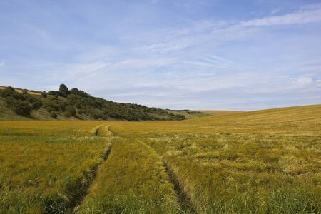 a wooded hillside with a ripening barley crop in the yorkshire wolds under a blue sky in summer Stock Photo