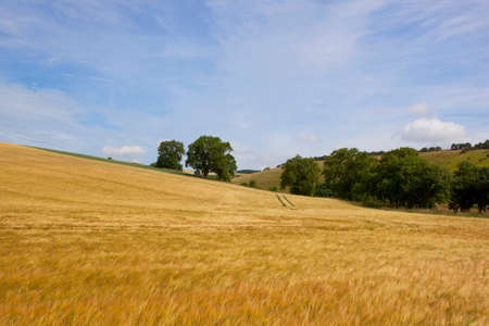 hedgerows: a scenic golden barley crop with trees and hedgerows in the yorkshire wolds under a blue summer sky