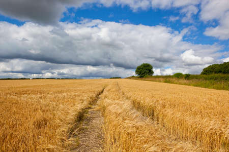 a golden barley field at harvest time in the yorkshire wolds under a blue cloudy sky in summer