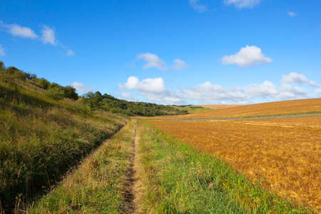 a country bridleway beside a ripening barley crop in summer under a blue cloudy sky