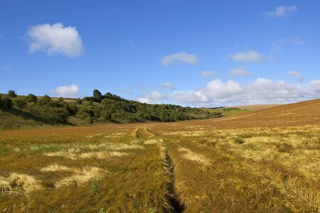 a flowing ripe barley crop with woode hillside under a blue sky in the yorkshire wolds