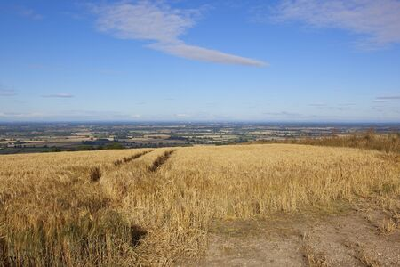 ripening barley on a hillside in the yorkshire wolds with a view of the vale of york under a blue sky in summer