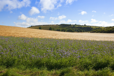 blu sky: purple phacelia flowers with golden barley in a scenic yorkshire wolds landscape under a blu cloudy sky