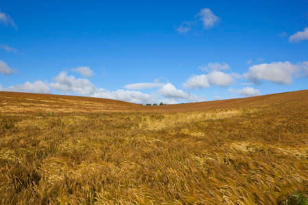 rolling hills: rolling hills with golden barley crop in the yorkshire wolds in summer under a blue cloudy sky Stock Photo