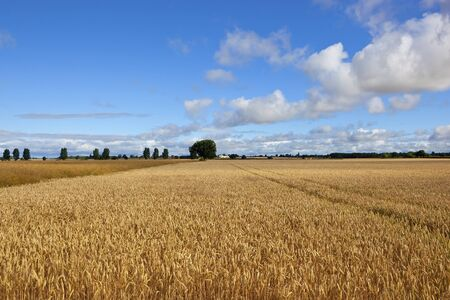 golden wheat and canola crops with trees and hedgerows in yorkshire under a blue cloudy sky Stock Photo