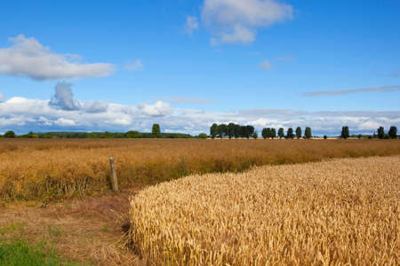 golden canola and wheat crops with trees and hedgerows under a blue cloudy sky in summer Stock Photo