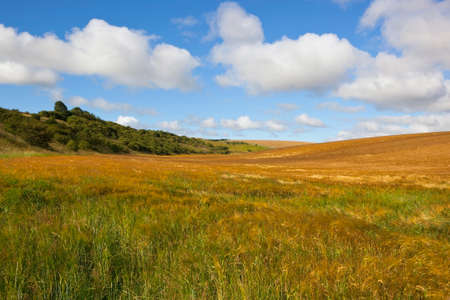 a wooded hillside with a ripening barley crop under a blue cloudy sky in summer Stock Photo