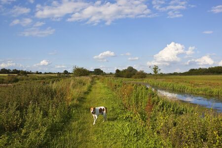 a brown and white dog walking a canal towpath in summer with tall vegetation in yorkshire under a blue cloudy sky