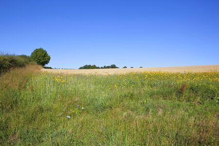 a ripe barley crop with foreground of wildflowers beside a hawthorn hedgerow under a clear blue sky in the yorkshire wolds in summer