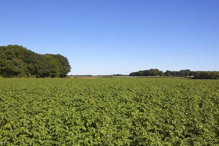 a flowering potato crop in the yorkshire wolds with mature trees under a clear blue sky in the yorkshire wolds in summer Stock Photo