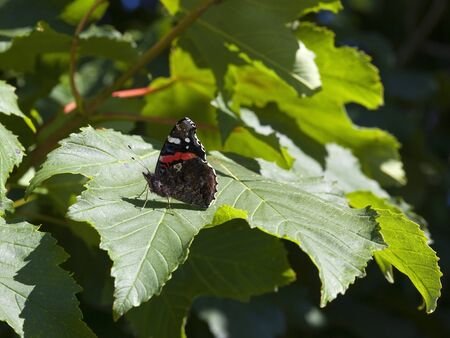 admiral: a red admiral butterfly on sycamore leaf in summer Stock Photo