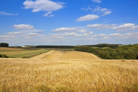 golden barley crop in an undulating landscape in the yorkshire wolds in summer under a blue cloudy sky