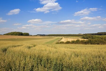 hedgerows: green oat fields in the scenic yorkshire wolds with trees and hedgerows under a blue cloudy sky in summer