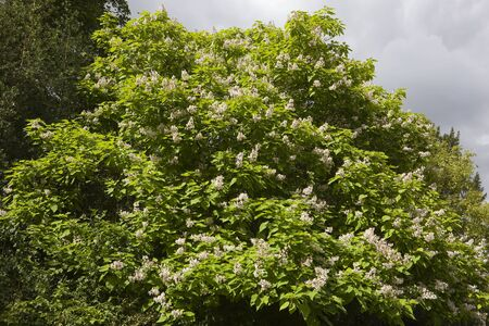 indian bean: an indian bean tree in full flower with birch trees under a cloudy sky in summer