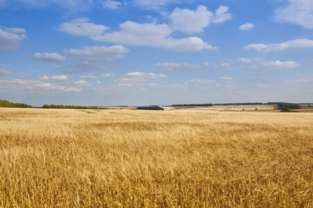 extensive: extensive barley fields with trees and hedgerows in the yorkshire wolds under a blue cloudy sky Stock Photo