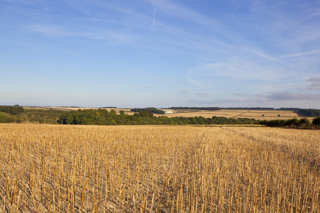 woodland scenery: harvested canola crop with woodland scenery under a blue sky in the yorkshire wolds