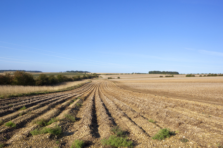 potato rows in scenic farmland with hawthorn hedgerows on chalky soil under a blue sky in the yorkshire wolds