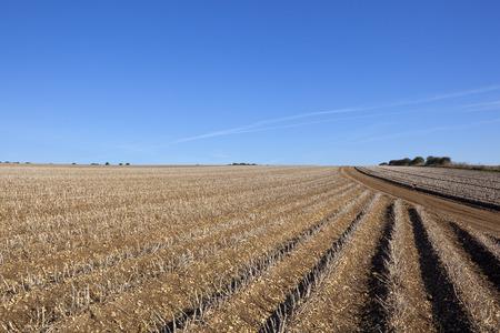 llegar tarde: hileras de patatas listas para ser cosechadas a finales de verano en los wolds de yorkshire bajo un cielo azul