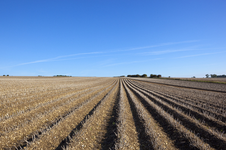 llegar tarde: potato rows in the yorkshire wolds ready to be harvested in late summer