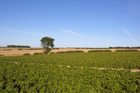 chalky: a potato crop in late summer with green foliage on chalky soil under a blue sky in the yorkshire wolds