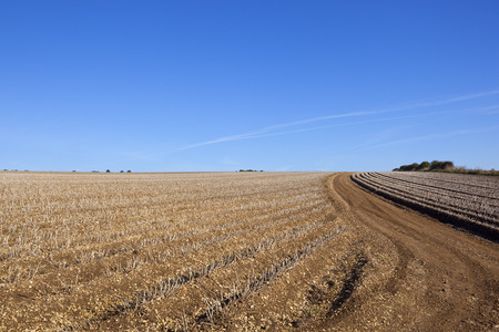 llegar tarde: rows of potatoes ready to be harvested in late summer in the yorkshire wolds under a blue sky