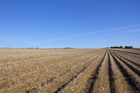 llegar tarde: filas de patata en los wolds de yorkshire listas para ser cosechadas a finales de verano