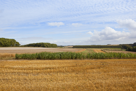copse: agricultural scenery with woodland crops and pheasent cover in the rural yorkshire wolds under a blue mackrel sky in late summer