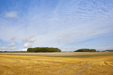 hedgerows: two small copses with hedgerows near golden harvested fields under a blue cloudy sky in late summer Stock Photo