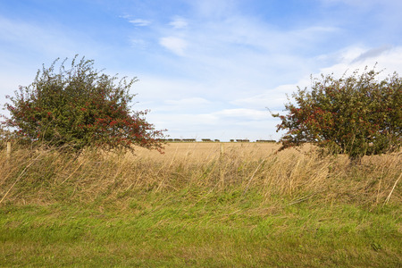 a hawthorn hedgerow with a gap revealing farming scenery under a blue cloudy sky in late summer