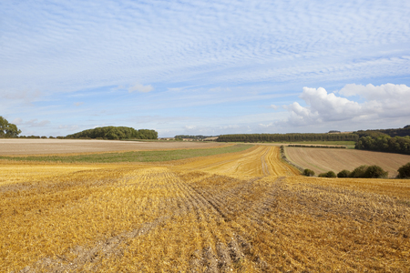 woodlands: a golden straw stubble field in autumn at harvest time with woodlands under a blue mackaral sky