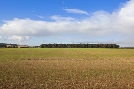 copse: a woodland copse in autumn and patchwork fields in the agricultural scenery of the yorkshire wolds under a blue cloudy sky
