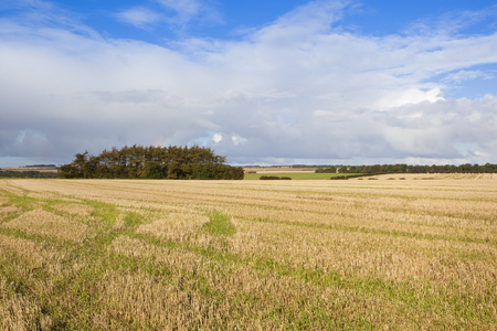 copse: a pine copse in agricultural scenery with a straw stubble field under a blue cloudy sky in autumn