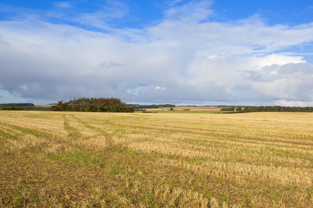 copse: a small pine tree copse near a straw stubble field in autumn under a blue sky with dramatic clouds in the scenic yorkshire wolds Stock Photo