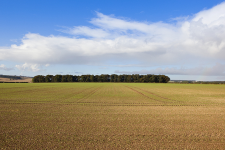 copse: a newly cultivated field with wheat and a woodland copse in autumn under a blue cloudy sky in the yorkshire wolds
