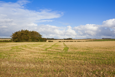 copse: a pine tree copse in autumn with astraw stubble field and scenery under a blue cloudy sky in the yorkshire wolds