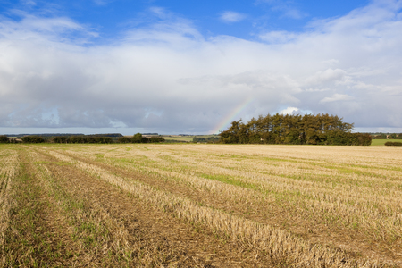 copse: a pine copse and a straw stubble field in autumn under a blue cloudy sky in the yorkshire wolds