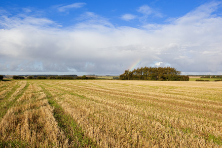 copse: a straw stubble field with tyre tracks and a pine copse in the yorkshire wolds in autumn under a blue sky
