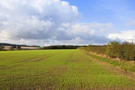 hedgerows: a newly sown wheat field with woods and hedgerows in the hills of the yorkshire wolds in a farming landscape under a blue cloudy sky in autumn