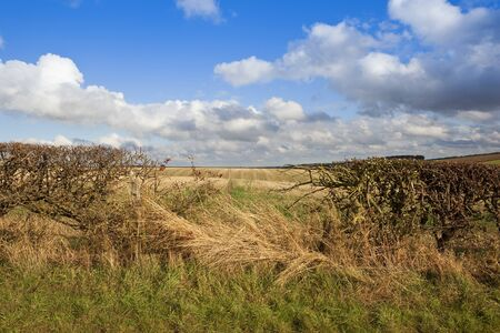 a hawthorn hedgerow in autumn with red berries and a gap looking out over straw stubble fields in the scenic yorkshire wolds under a blue cloudy sky