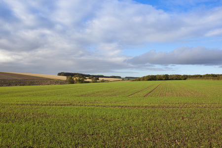 young wheat crop and woodlands with hills and hedgerows under a soft cloudy sky in a yorkshire wolds landscape in autumn Stock Photo